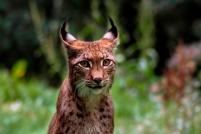 Lynx wordpress zoom