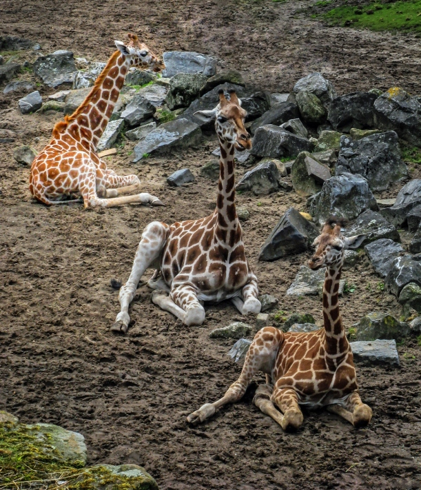 Giraffes klein 2